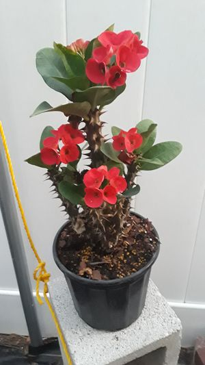 Crown of thorns for Sale in Winter Haven, FL
