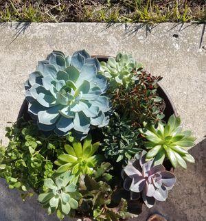 Large Succulent Arrangement for Sale in Port Charlotte, FL