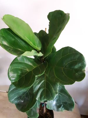 Fiddle leaf fig plants 3 gallons pot 3ft 5 inches tall for Sale in Chula Vista, CA