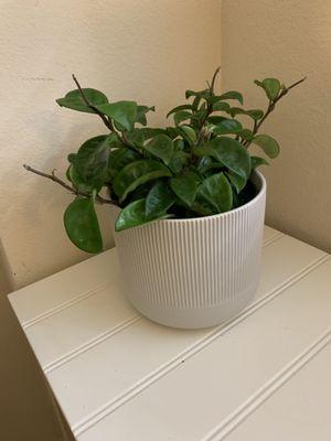 "Hoya Kringle 8 6"" pot for Sale in Costa Mesa, CA"