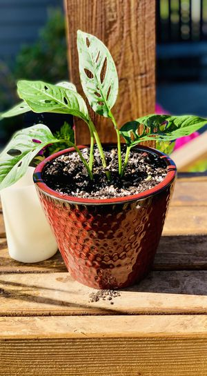 Live indoor Philodendron Monstera Adansonii house plant in a textured ceramic planter flower pot—firm price for Sale in Renton, WA
