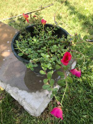 Plant for Sale in San Antonio, TX