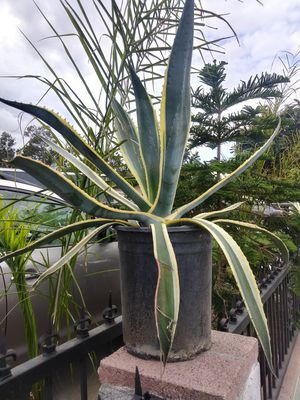 Agaves. Y captus 10 ea for Sale in Phillips Ranch, CA