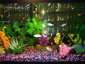 Platties and Mollies Community Fish Guppies for Sale in Fort Worth, TX