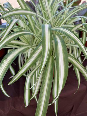 Spider Plant 🕷 for Sale in Santa Ana, CA