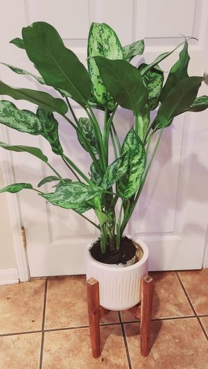 Evergreen Maria Indoor Plant for Sale in Costa Mesa, CA