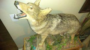 Coyote for Sale in Roanoke, VA
