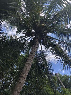 Free coconuts for Sale in Lauderhill, FL