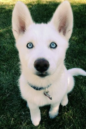 LOOKING FOR A PUPPY HUSKY SIBERIAN FOR SALE! for Sale in Portland, OR