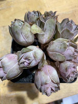 """1 Pink Hierro clusters in 4"""" pot, $29.00 for Sale in Garden Grove, CA"""