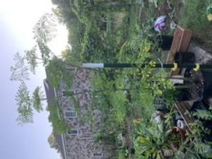 Moringa/Drumstick Tree for Sale in Raleigh, NC