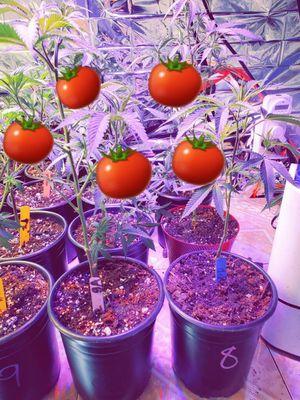 Tomatoe clones for Sale in La Habra, CA