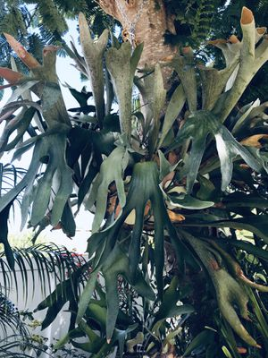 STAGHORN PLANT for Sale in Kissimmee, FL