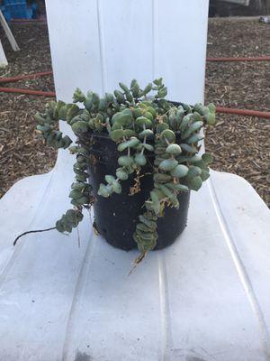 Succulent for Sale in Riverside, CA