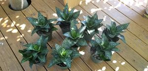 Snake Plant Sansevieria Mother in Law Tongue for Sale in Dania Beach, FL