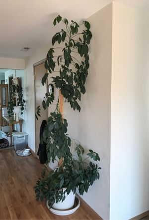 8 ft live chepelaria Beautiful healthy plant. for Sale in Pasco, WA