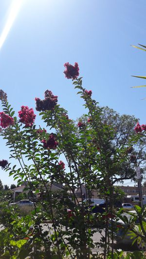 Pink crepe myrtle tree for Sale in Bell, CA