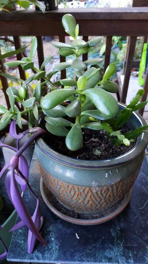 Wondering Jew with Jade plant and Christmas cactus 🌵 for Sale in Citrus Heights, CA