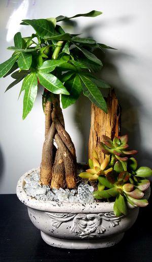 Money tree and succulent for Sale in Pico Rivera, CA