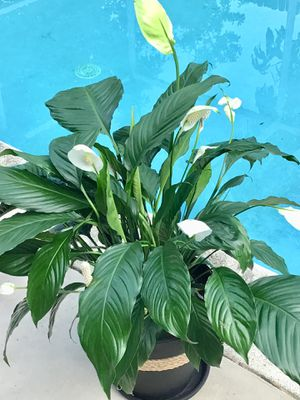 Beautiful Peace Lily and Succulents for Sale in Pembroke Pines, FL