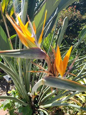 Orange Bird of Paradise Plant for Sale in Arcadia, CA
