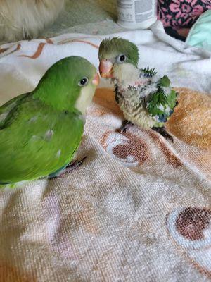 Quaker Parrots for Sale in Grand Prairie, TX
