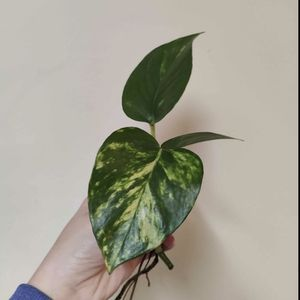 Golden Pothos Rooted Cuttings for Sale in Lynwood, CA