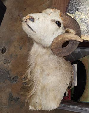 Taxidermy ram sheep wall mount for Sale in Miami, FL
