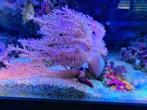 Kenya tree coral including zoas for Sale in Irvine, CA