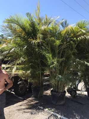 Areca palms delivered and planted for Sale in Orlando, FL