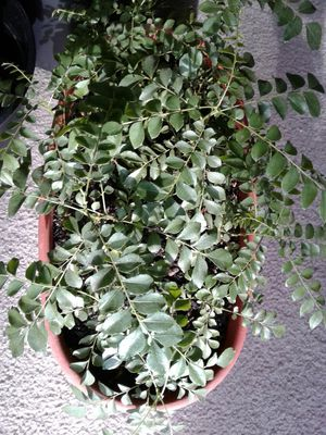 Very healthy Curry patta pup plants for Sale in Rancho Cordova, CA