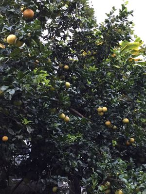 Organic Lemons for Sale in Hilo, HI