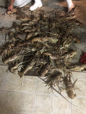 Fresh Lobsters / Langostas Frescas for Sale in Hialeah, FL