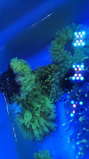 Green bubble anemone for Sale in Rosemead, CA