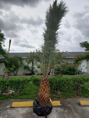 Palm tree , field grown 3 ft of trunk, over all 11 ft for Sale in Miramar, FL