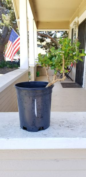 Bonsai tree plant in pot for Sale in National City, CA