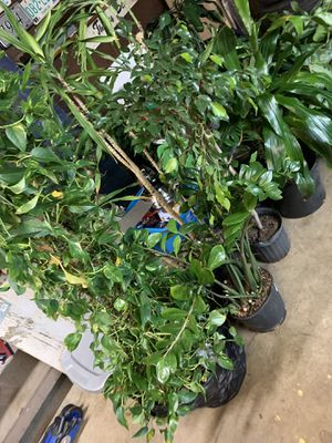 House plant for Sale in Columbus, OH