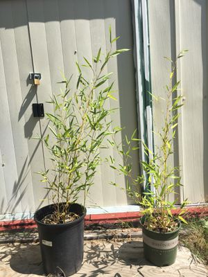 Golden Bamboo Tree Potted Plants - $10 each - many sizes available! for Sale in Marysville, WA