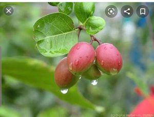 Karamja fruit for Sale in Pembroke Pines, FL