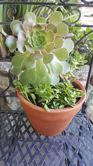 Healthy succulent potted plants, three different plants for Sale in Clovis, CA