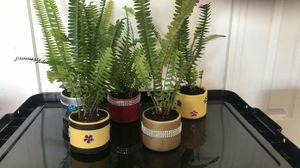 Ferns plant each $2 for Sale in Orlando, FL