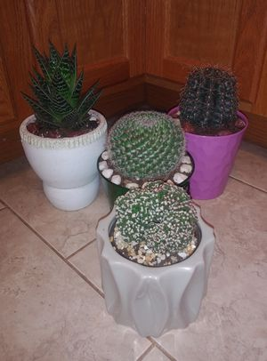 Cactus/succulent house plants$13 each for Sale in St. Louis, MO