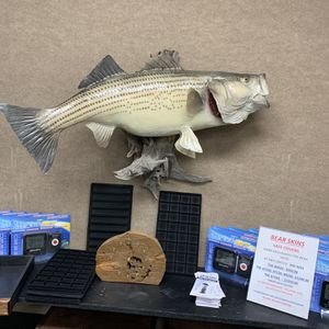 Mounted 27 LB Stripper Fish for Sale in Oklahoma City, OK