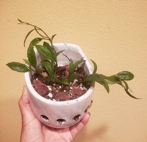 Hoya Lacunosa, 4 vines, in a 4.5 in white glazed hanging pot for Sale in Hacienda Heights, CA