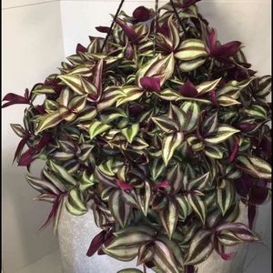 Wandering Jew Cuttings for Sale in South Gate, CA