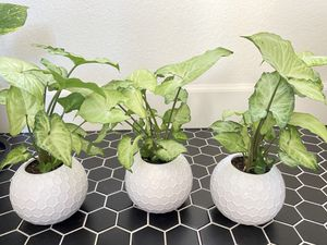 """Live plant in gorgeous 4"""" ceramic pot. $15 each or 3 for $40 for Sale in Las Vegas, NV"""