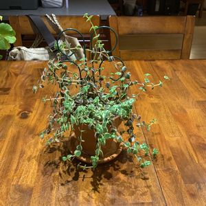 Bonsai Tree - Succulent for Sale in Silver Spring, MD