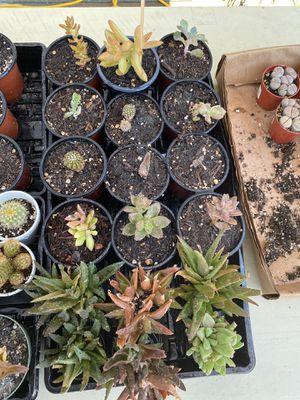 Succulents for Sale in Modesto, CA
