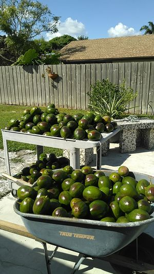 Avocados 50 cents each need to sell all at once for Sale in Homestead, FL