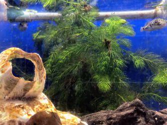 Bunch Aquatic Plants for Sale in Hialeah,  FL